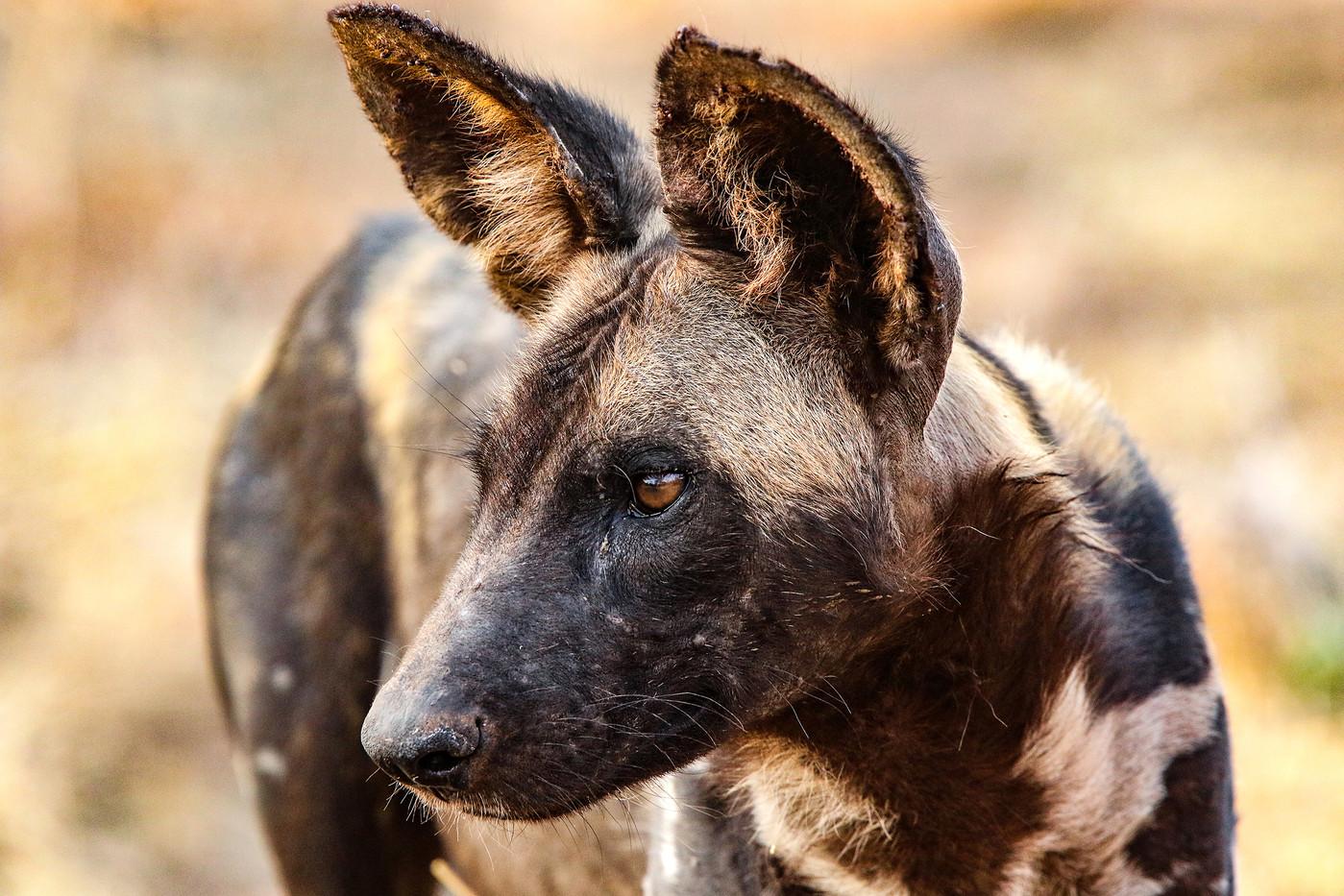 African Wild Dog in Mwiba Reserve, Tanzania