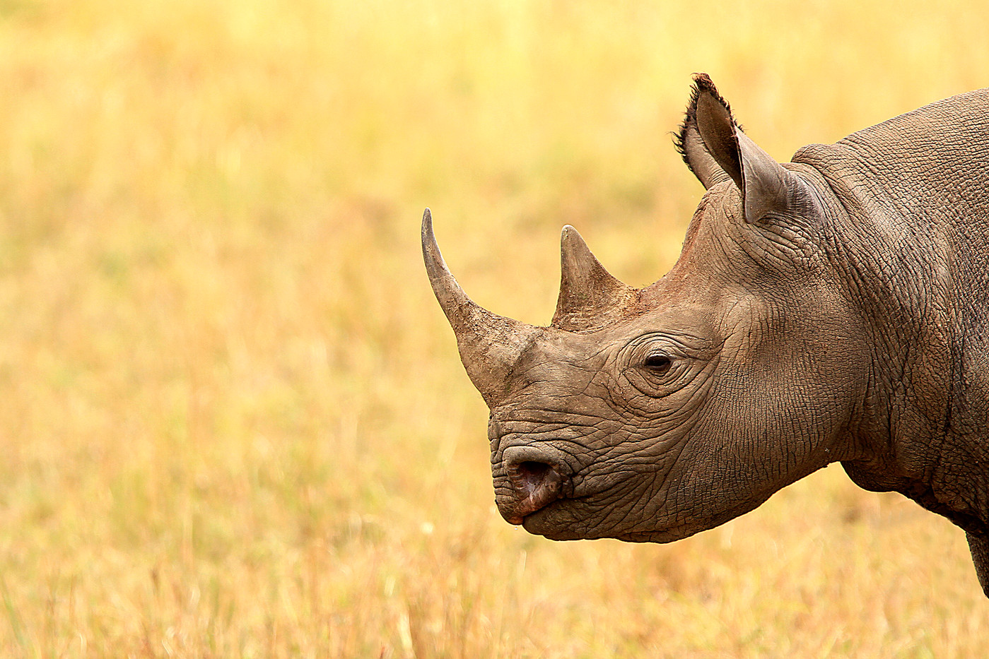 Black Rhino in Masai Mara Reserve, Kenya