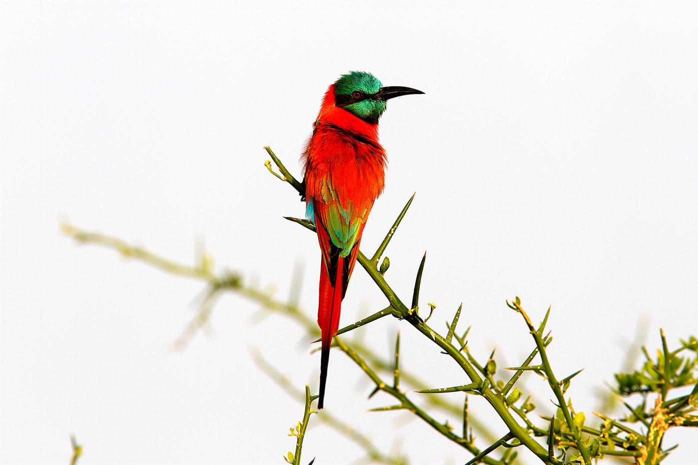 Northern Cramine Bee-eater in Tarangire NP, Tanzania