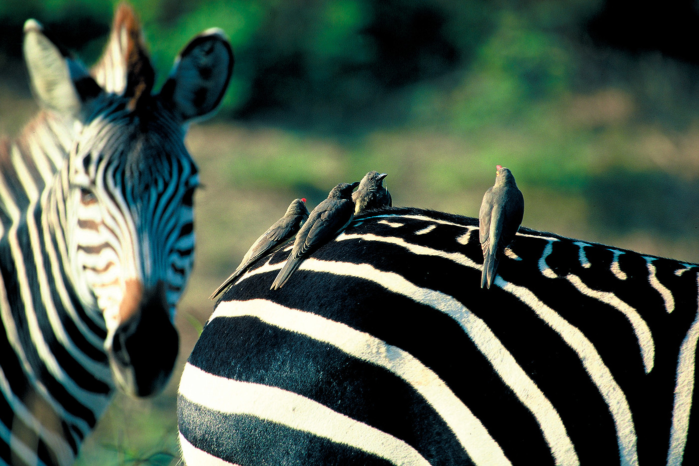 Crawshay's Zebra in South Luang, Zambia