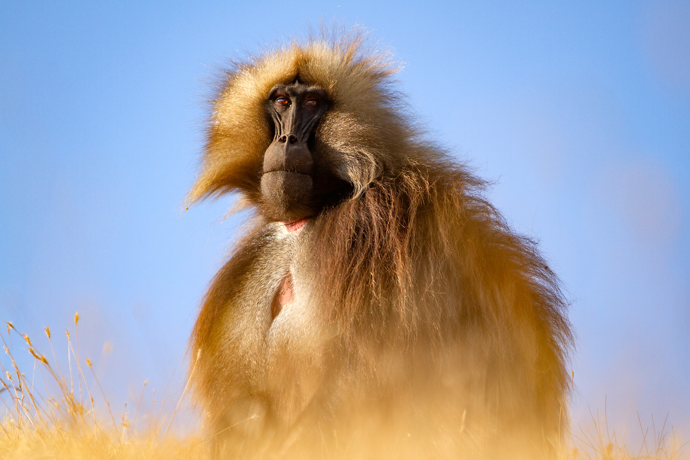 Male Gelada Baboon in the Simien Mountains NP, Ethiopia