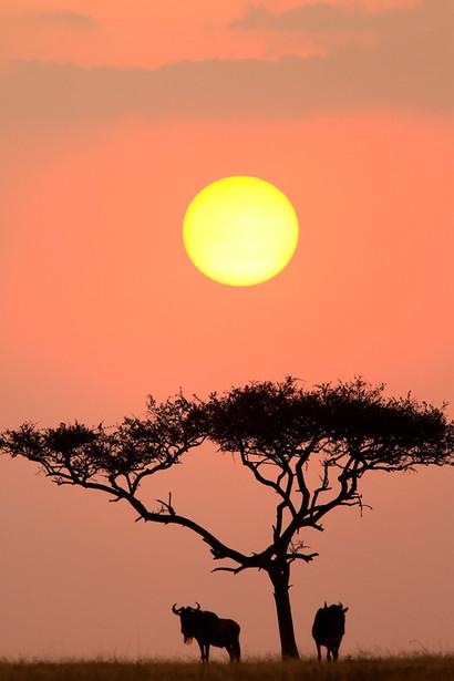 Wildebeest at sunset in the Serengeti NP, Tanzania