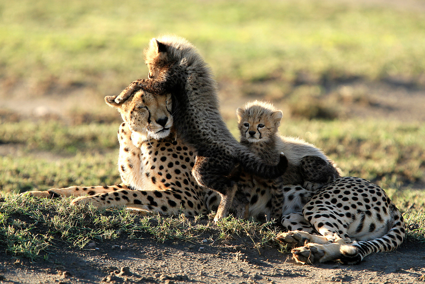 Cheetah & cubs in the Serengeti NP, Tanzania