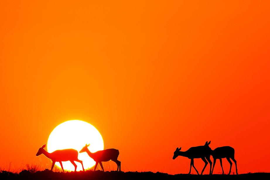 Impala at sunrise in the Serengeti NP, Tanzania