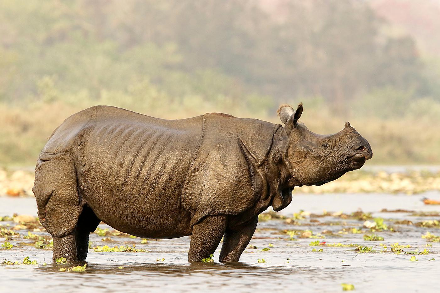 Greater One-horned Rhino in Chitwan NP, Nepal