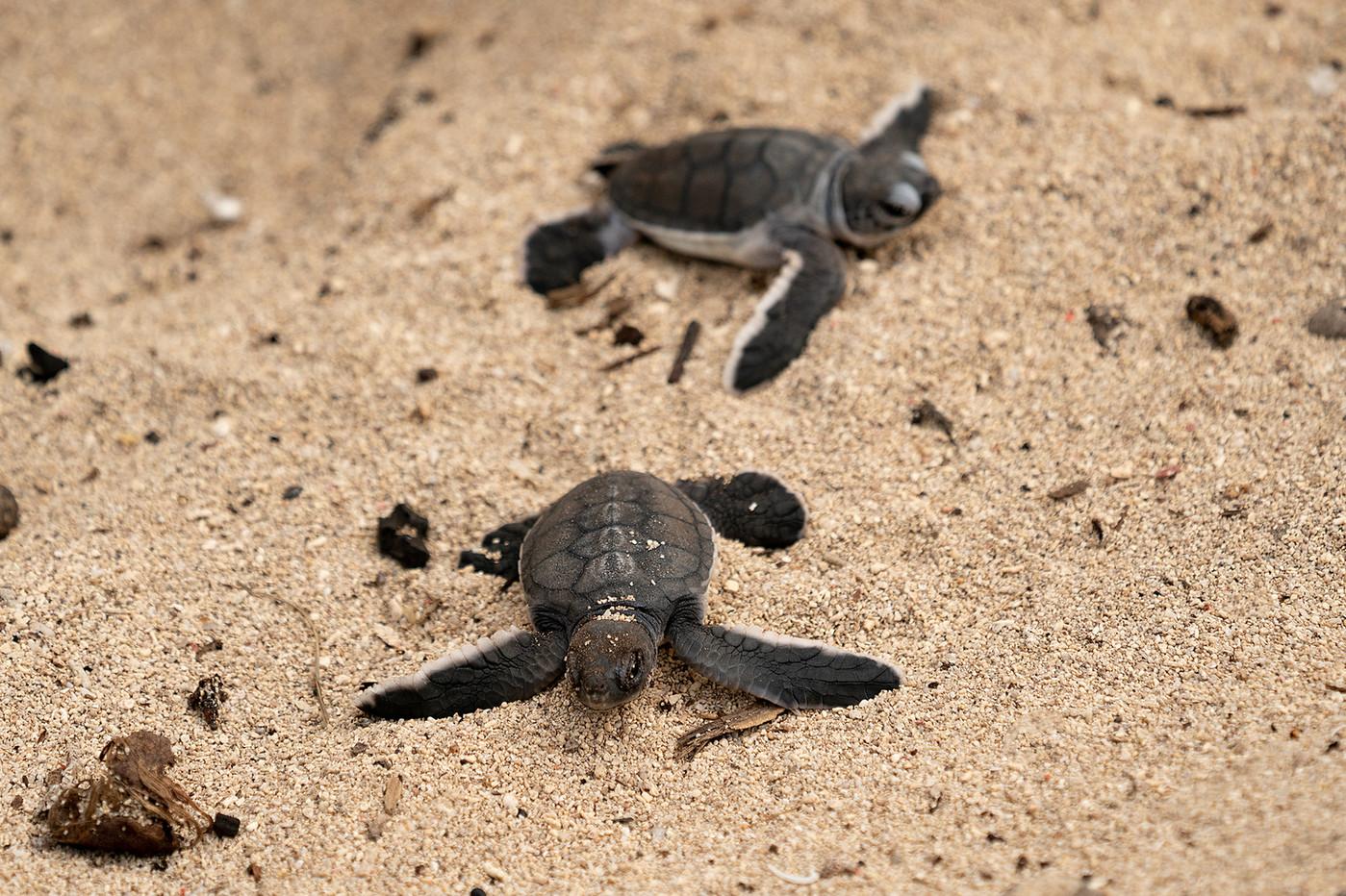 Hatchling Green Turtles on Mafia Island, Tanzania