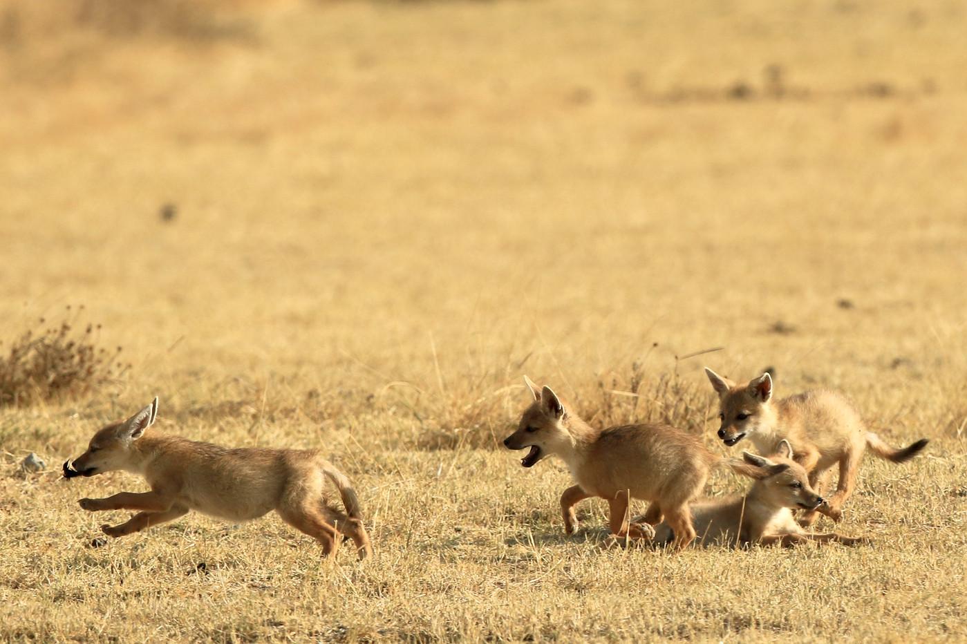 Golden Jackal pups in the Ngorongoro Crater, Tanzania