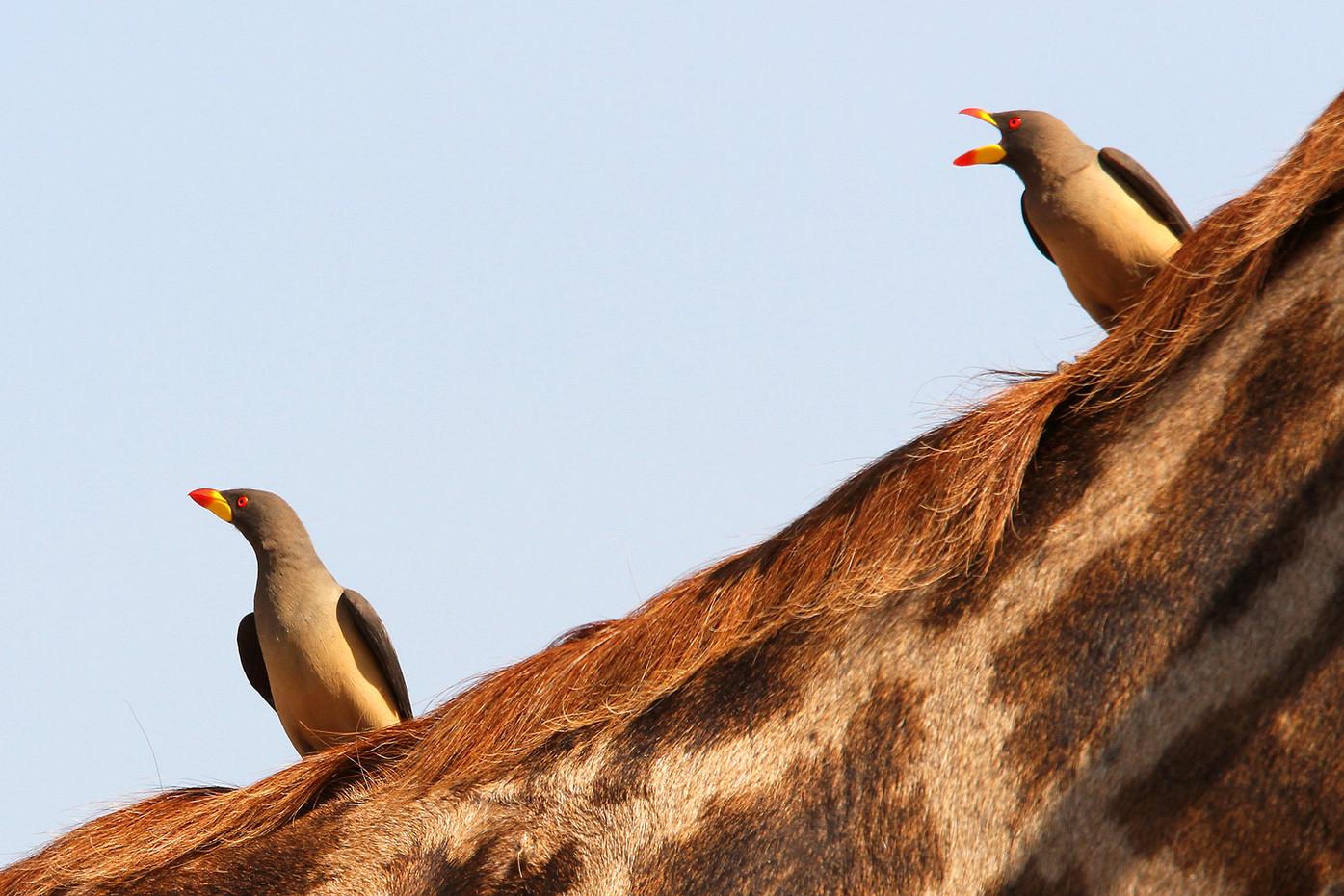 Yellow-billed Oxpeckers & giraffe in the Serengeti NP, Tanzania