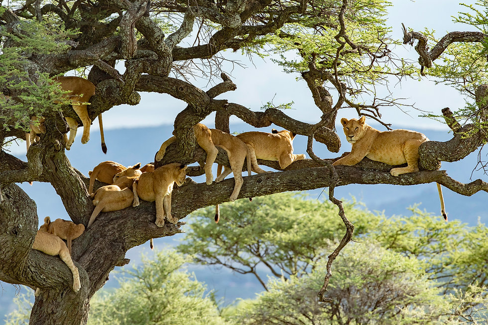 Pride of lions in a tree in the Serenget