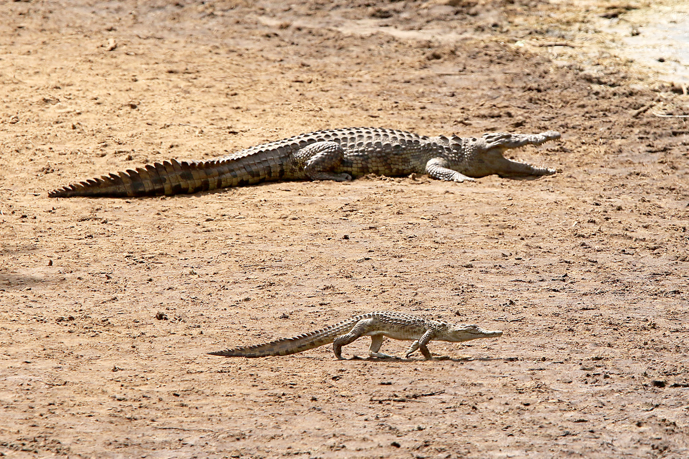 Baby Nile Crocodile in the Serengeti NP, Tanzania