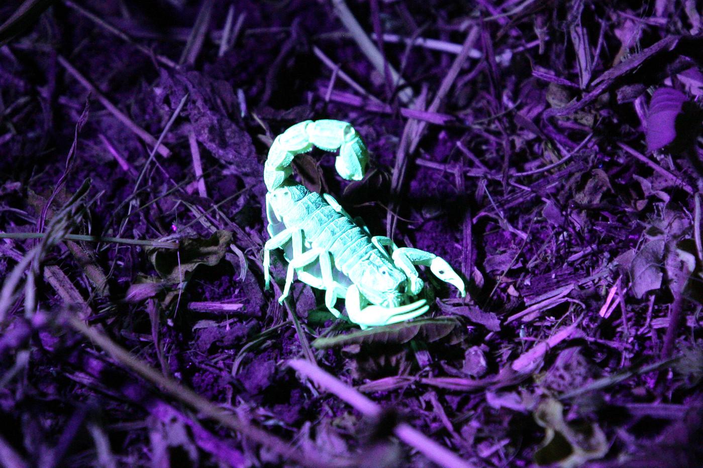 Scorpion under a UV light near Lake Manyara, Tanzania