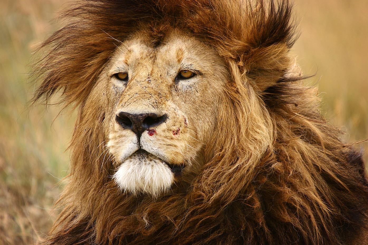 Lion in the Serengeti NP, Tanzania