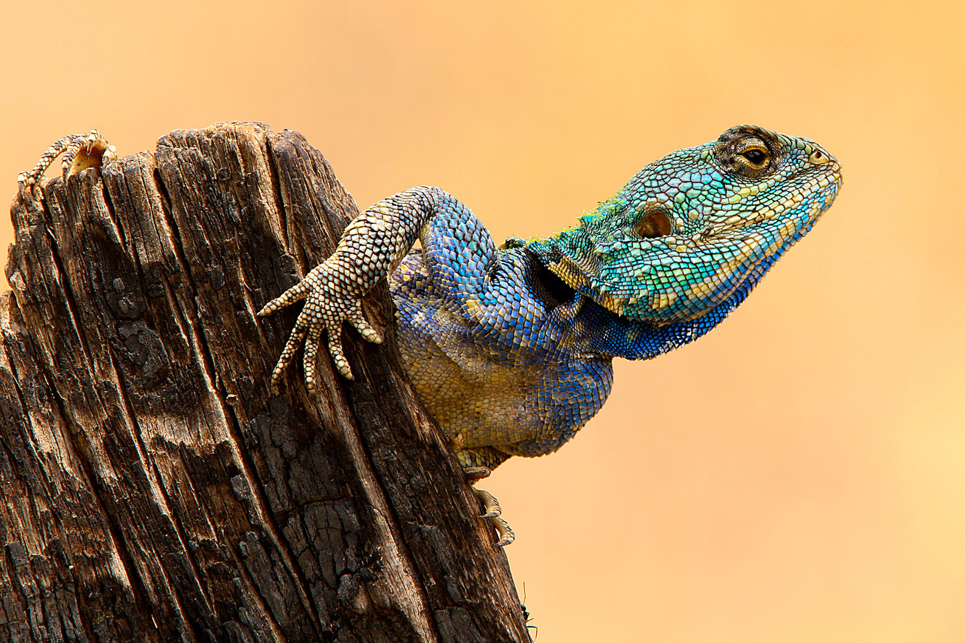 Male Tree Agama in the Ngorongoro Conservation Area, Tanzania