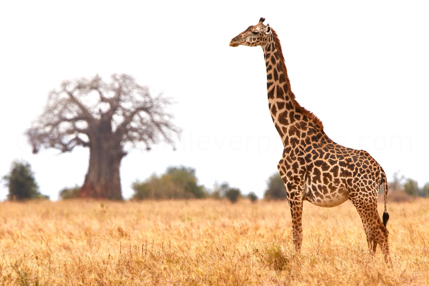 Masai Giraffe & Baobab in Tarangire NP, Tanzania