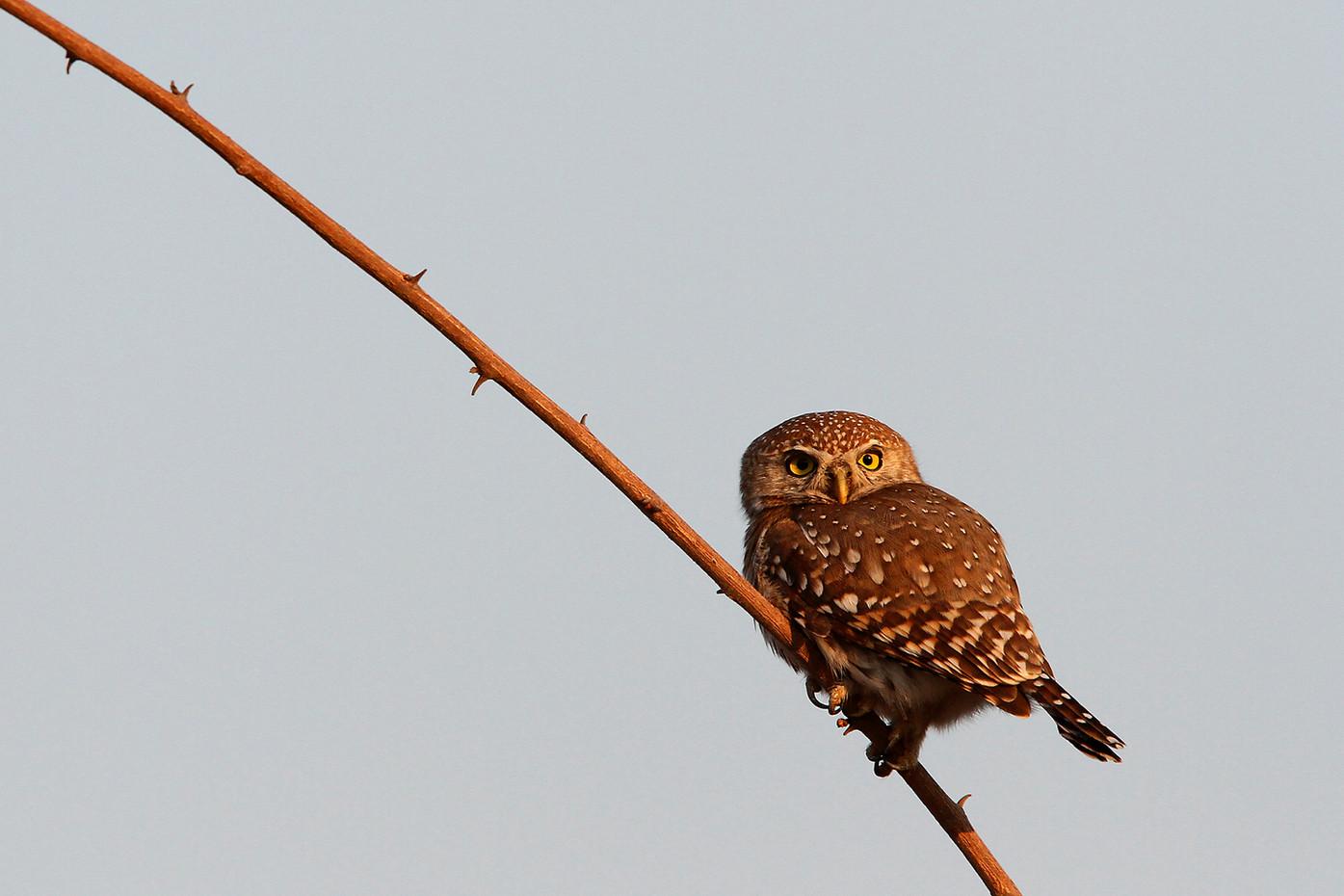 Pearl-spotted Owl in Ruaha NP, Tanzania