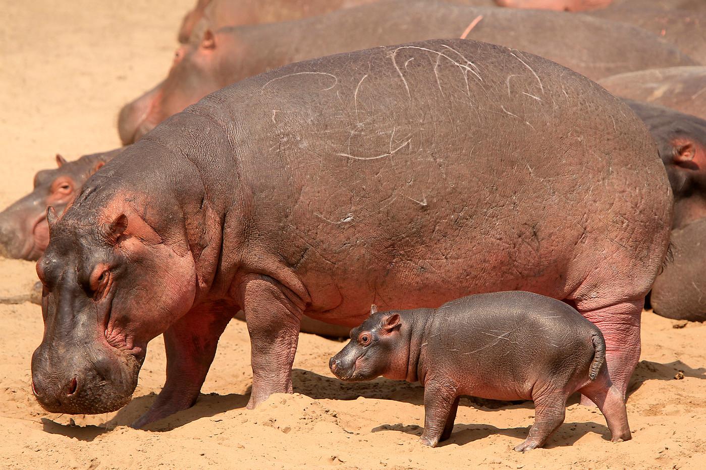 Hippo & calf in the Serengeti NP, Tanzania