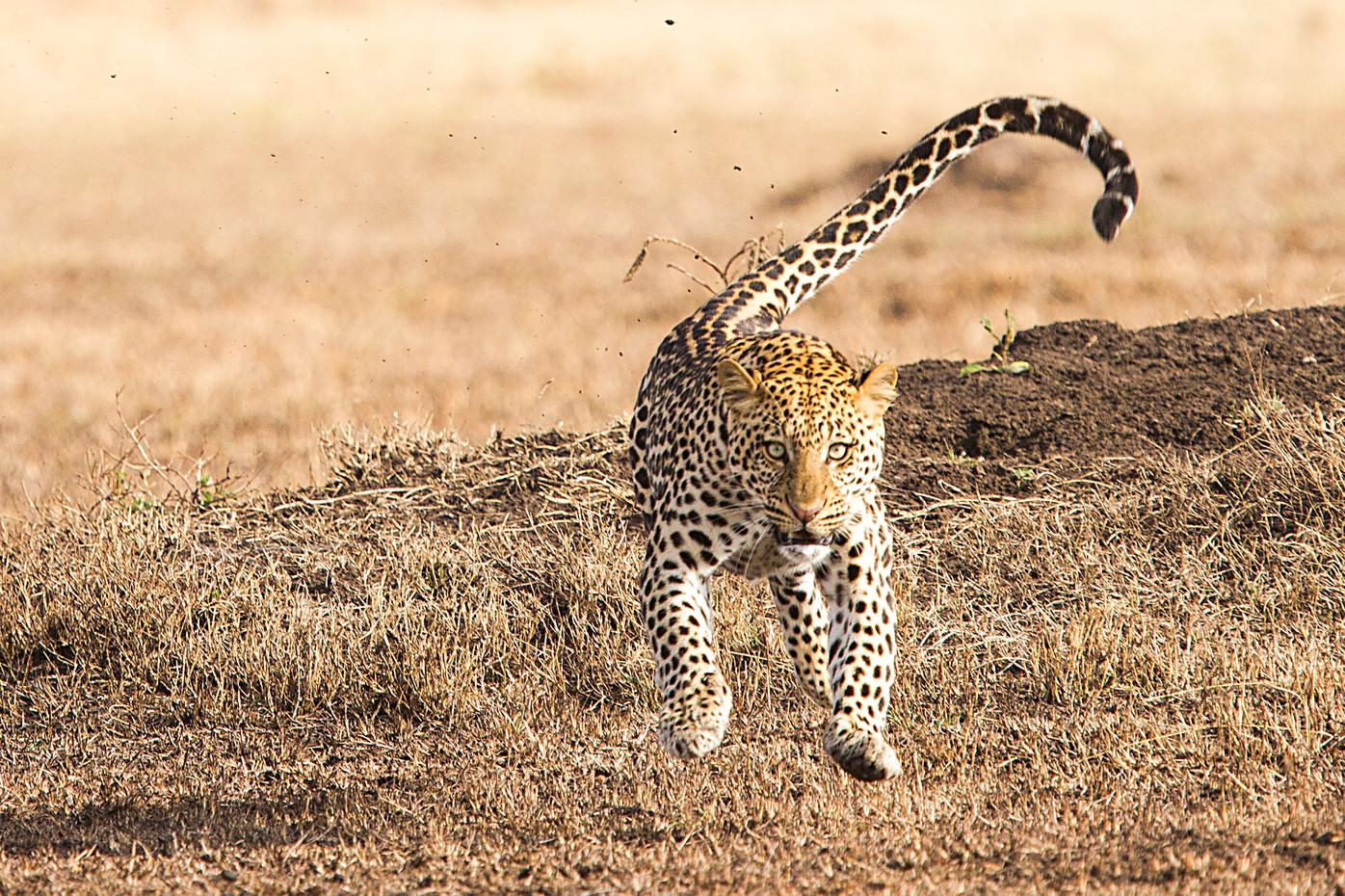 Charging leopard in Grumeti Reserve, Tanzania