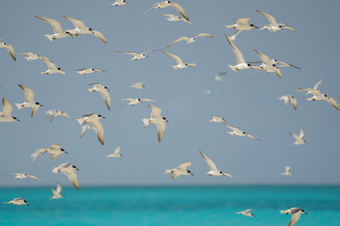 Common Terns on Mnemba Island, Tanzania