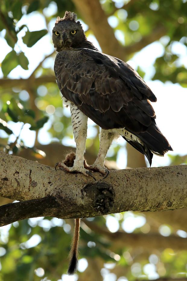 Marshal Eagle in the Serengeti NP, Tanzania