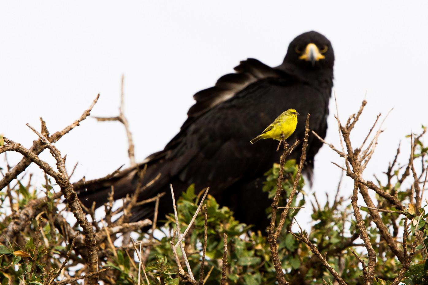 Black Eagle & anary in Masai Mara, Kenya