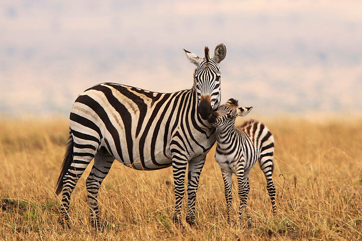 Burchell's Zebra & foal in the Serengeti NP, Tanzania