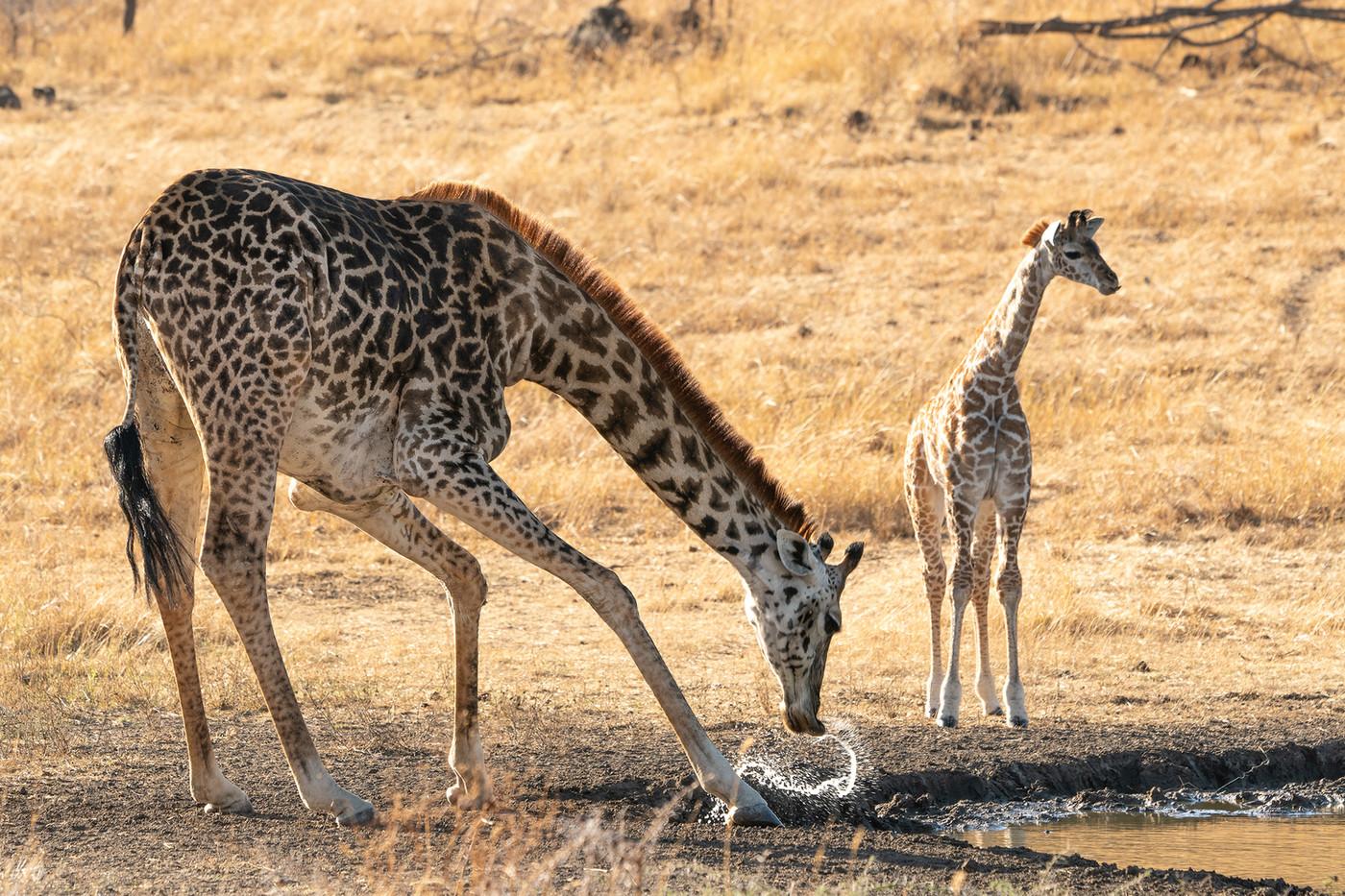 Giraffe & foal in Mwiba Reserve, Tanzania