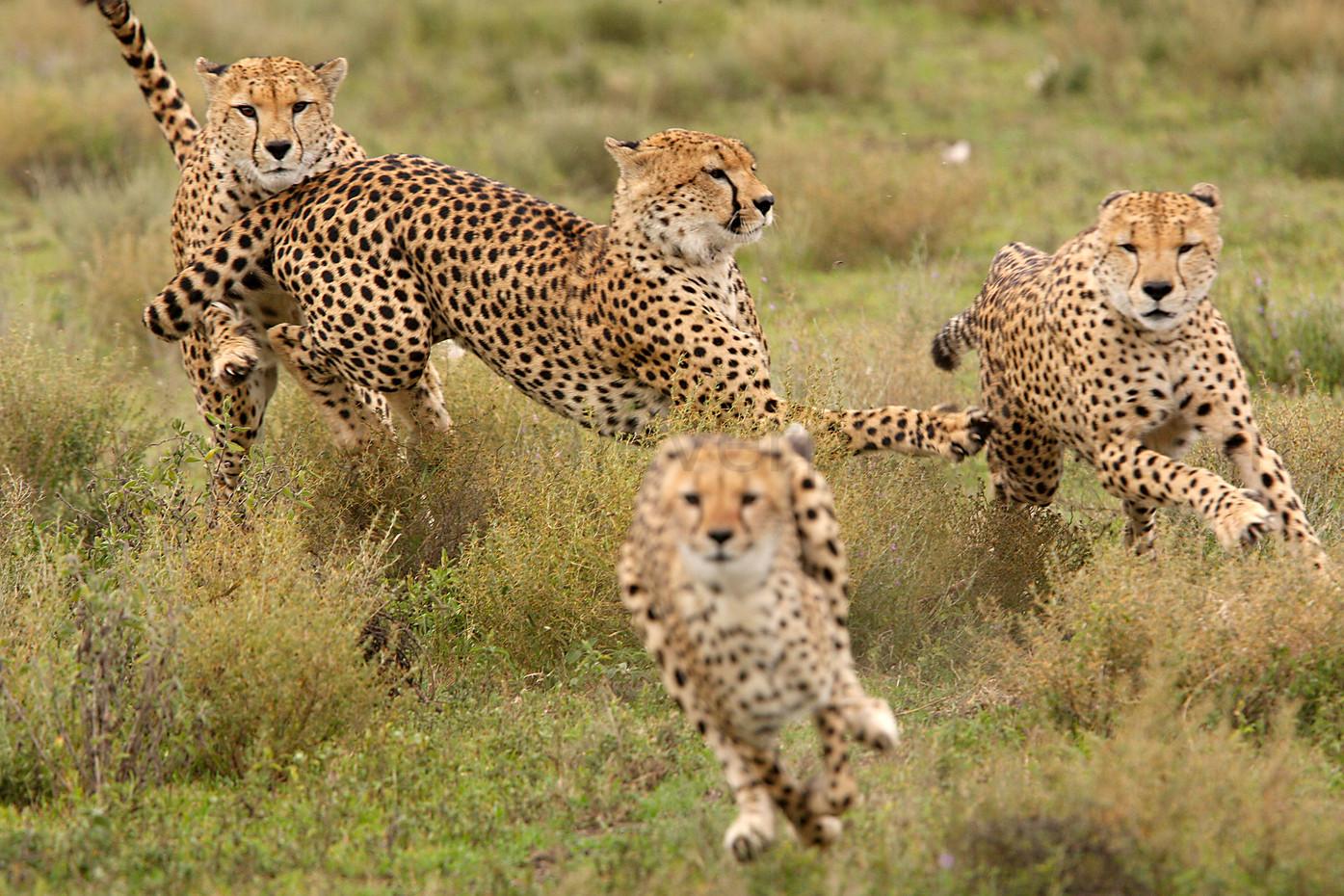 Cheetah in the Ngorongoro Conservation Area, Tanzania