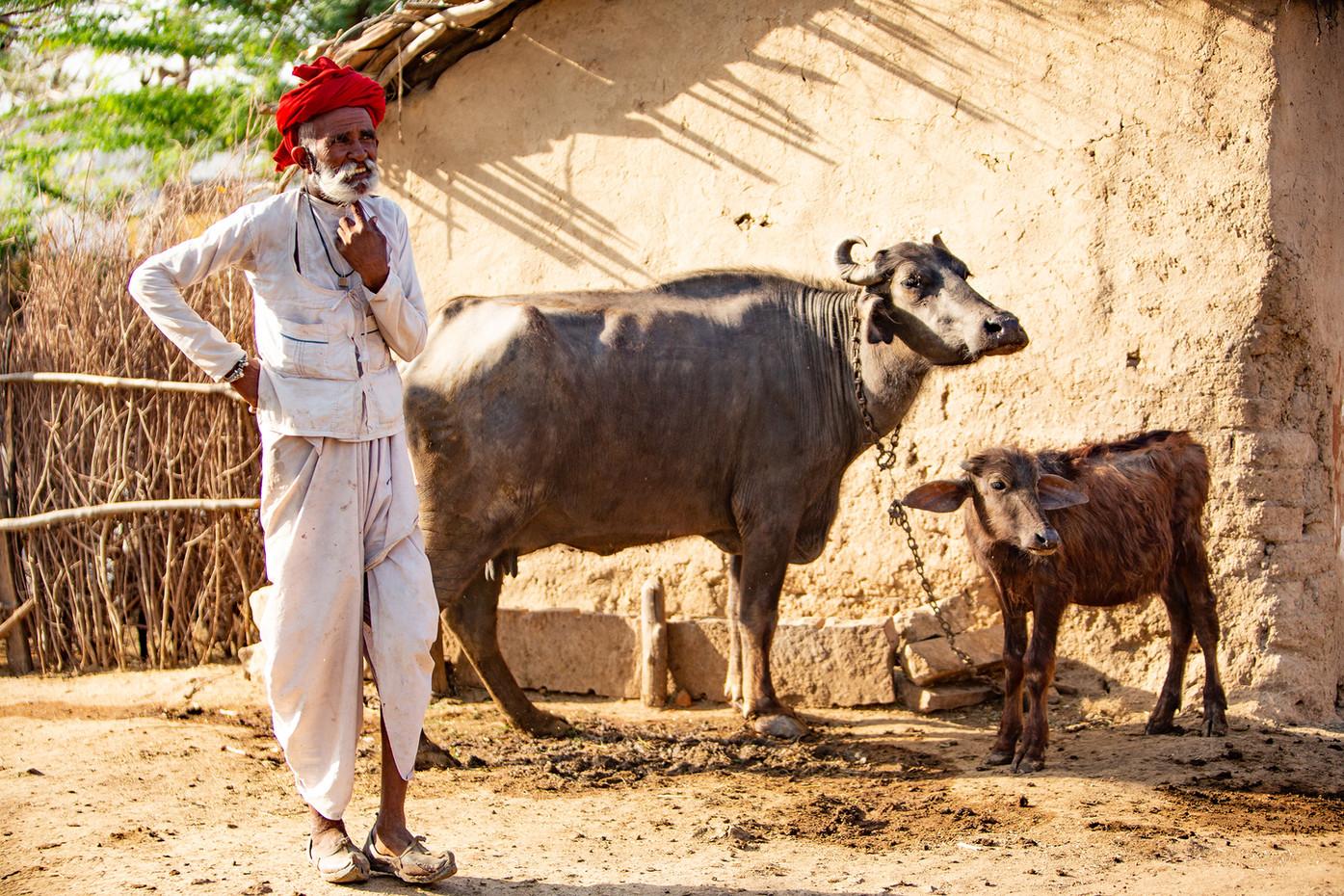 Rabari tribesman & water buffalo near Pali, India