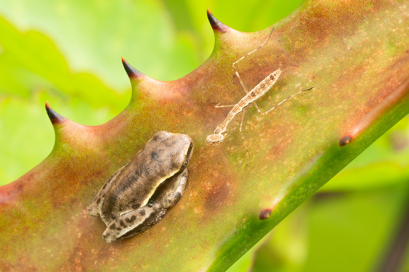 Reed Frog & hatchling praying mantis in Arusha, Tanzania