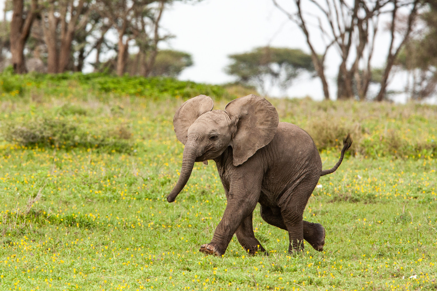 Elephant calf in the Serengeti NP, Tanzania