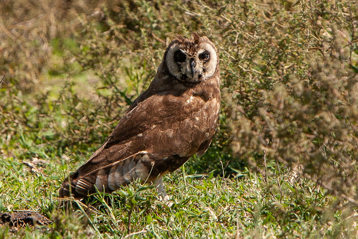 Marsh Owl in the Serengeti NP, Tanzania