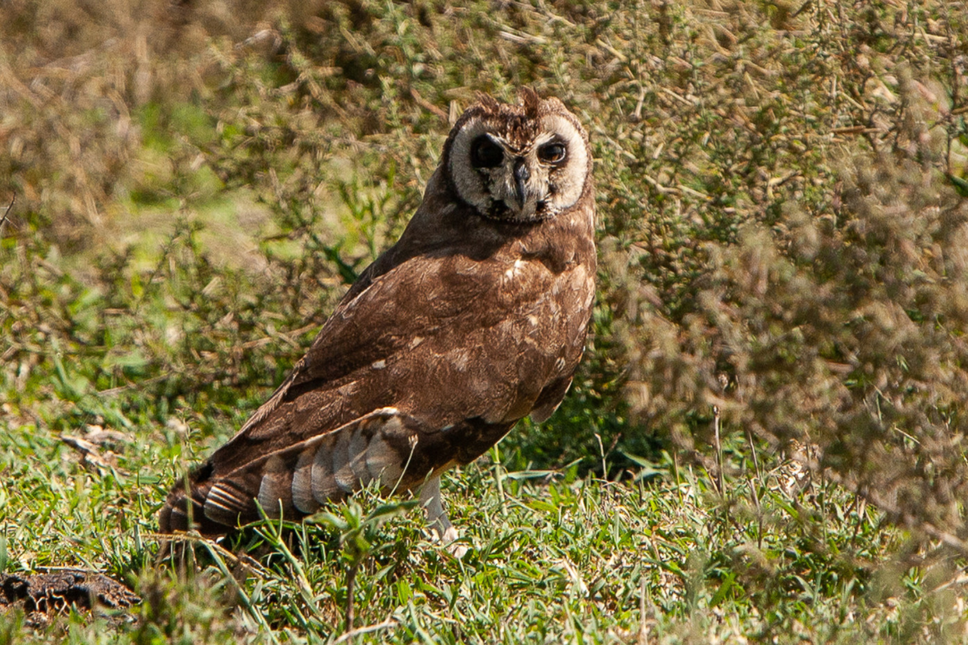 Marsh Owl in the Serengeti NP, Tanzania