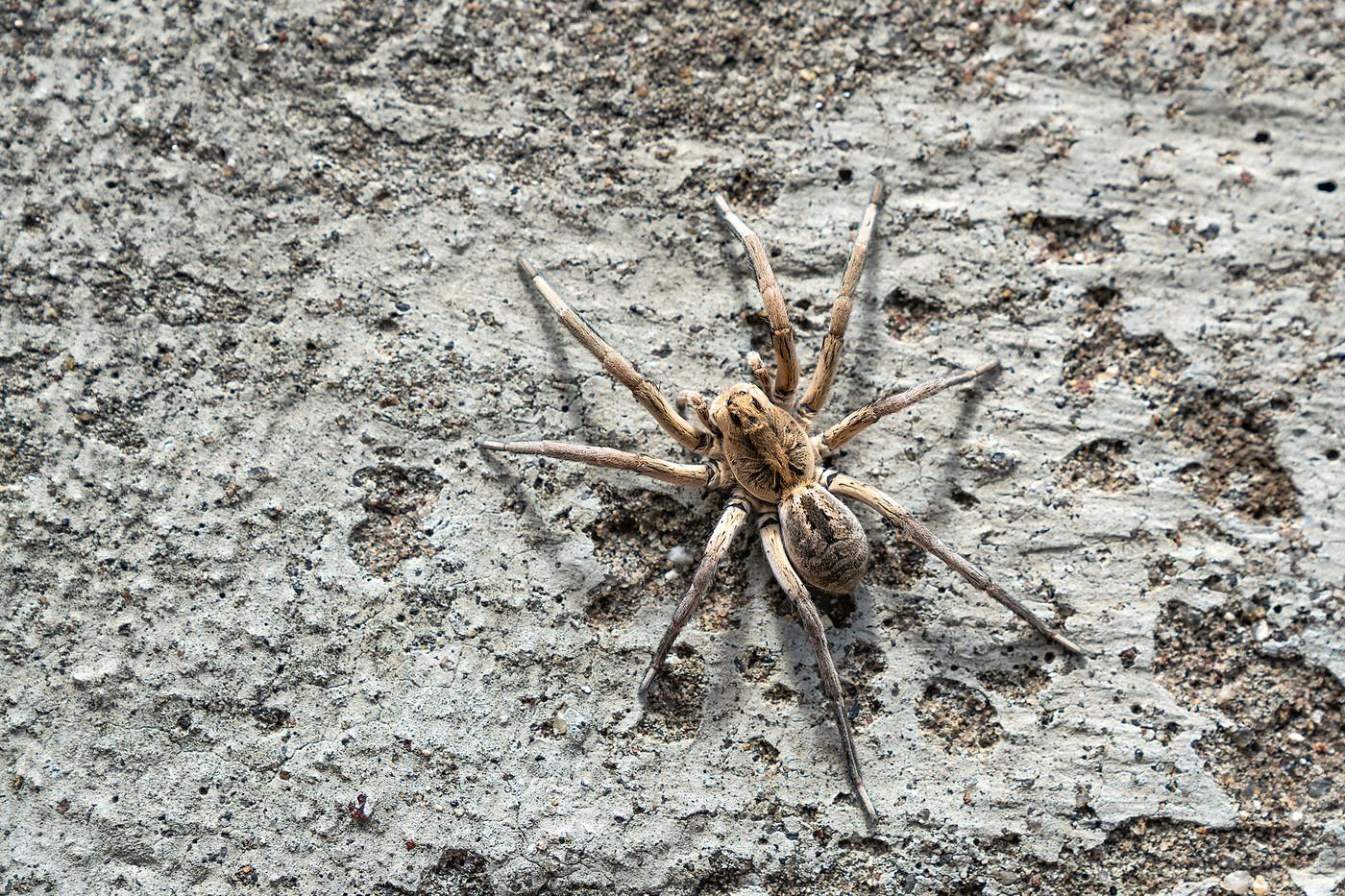 Wolf Spider in Arusha, Tanzania