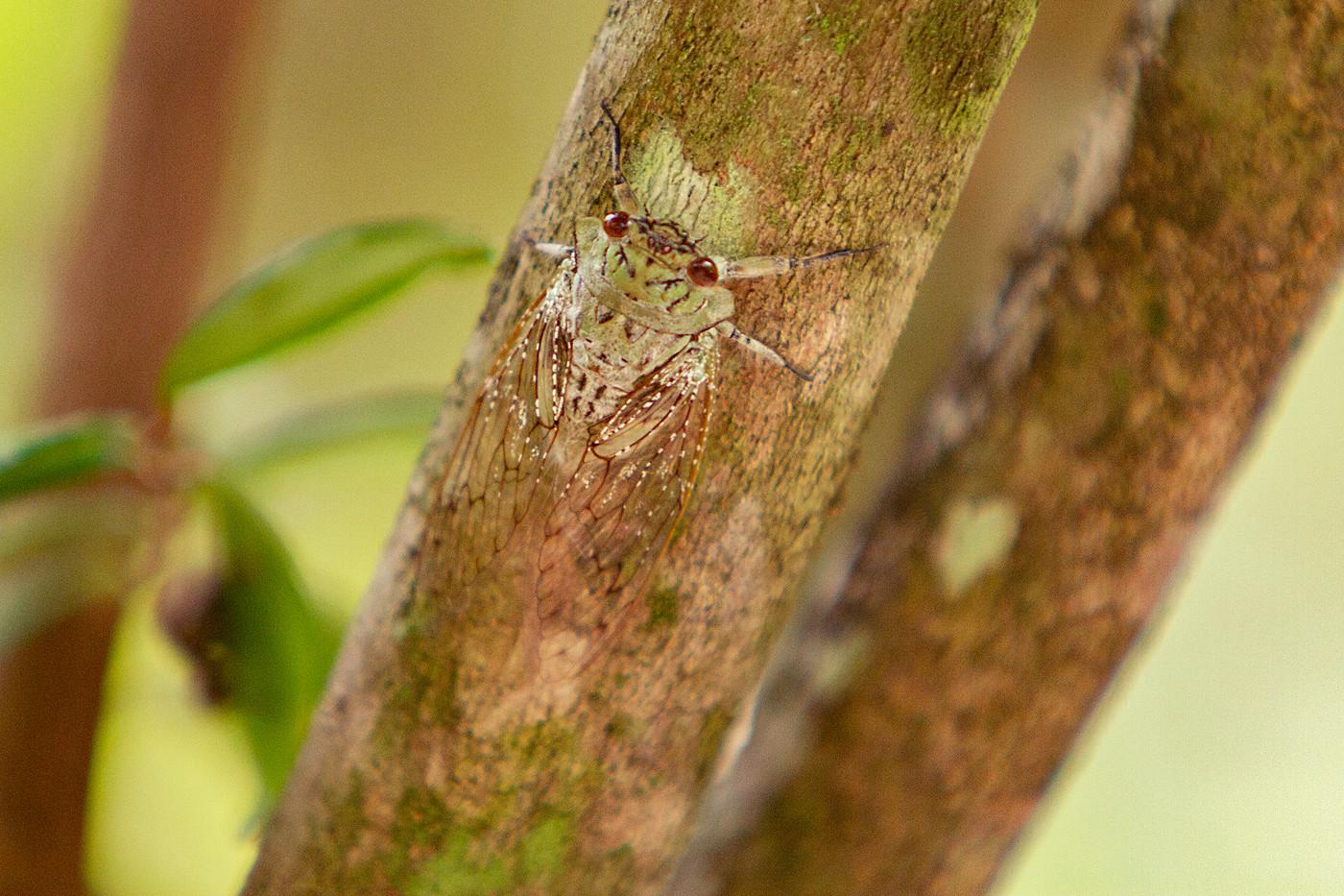Cicada on Mnemba Island, Tanzania