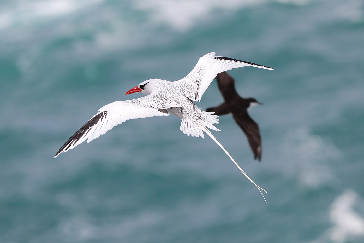 Red-billed Tropic Bird and Storm Petrel in the Galapagos Islands, Equador