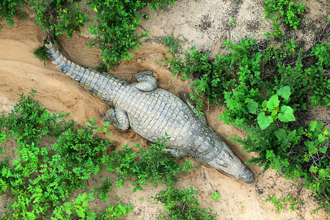 Nile Crocodile on the banks of the Mara River, Tanzania