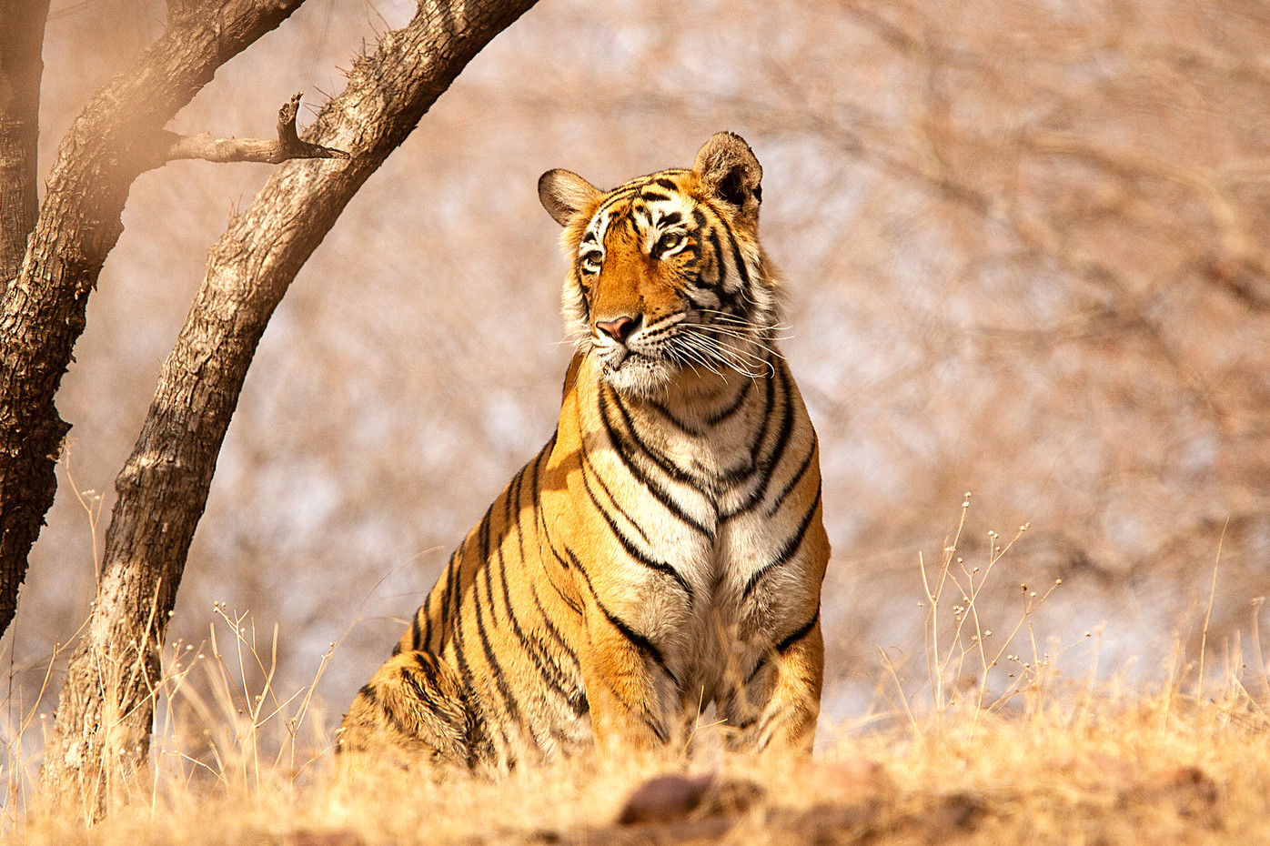 Bengal Tiger in Ranthambore NP, India