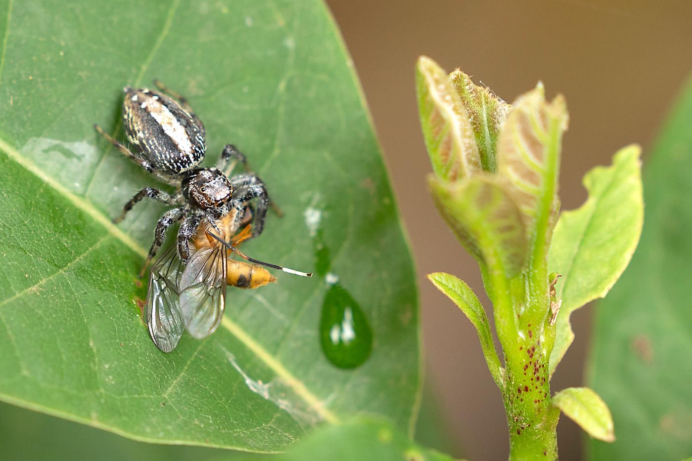 Jumping Spider & prey in Arusha, Tanzania