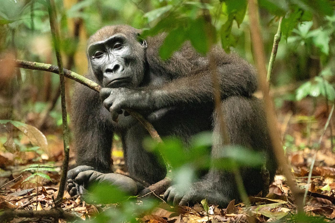 Female western lowland gorilla in Luango NP, Gabon