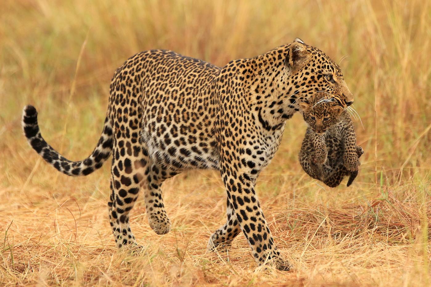 Leopard & cub in the Serengeti NP, Tanzania