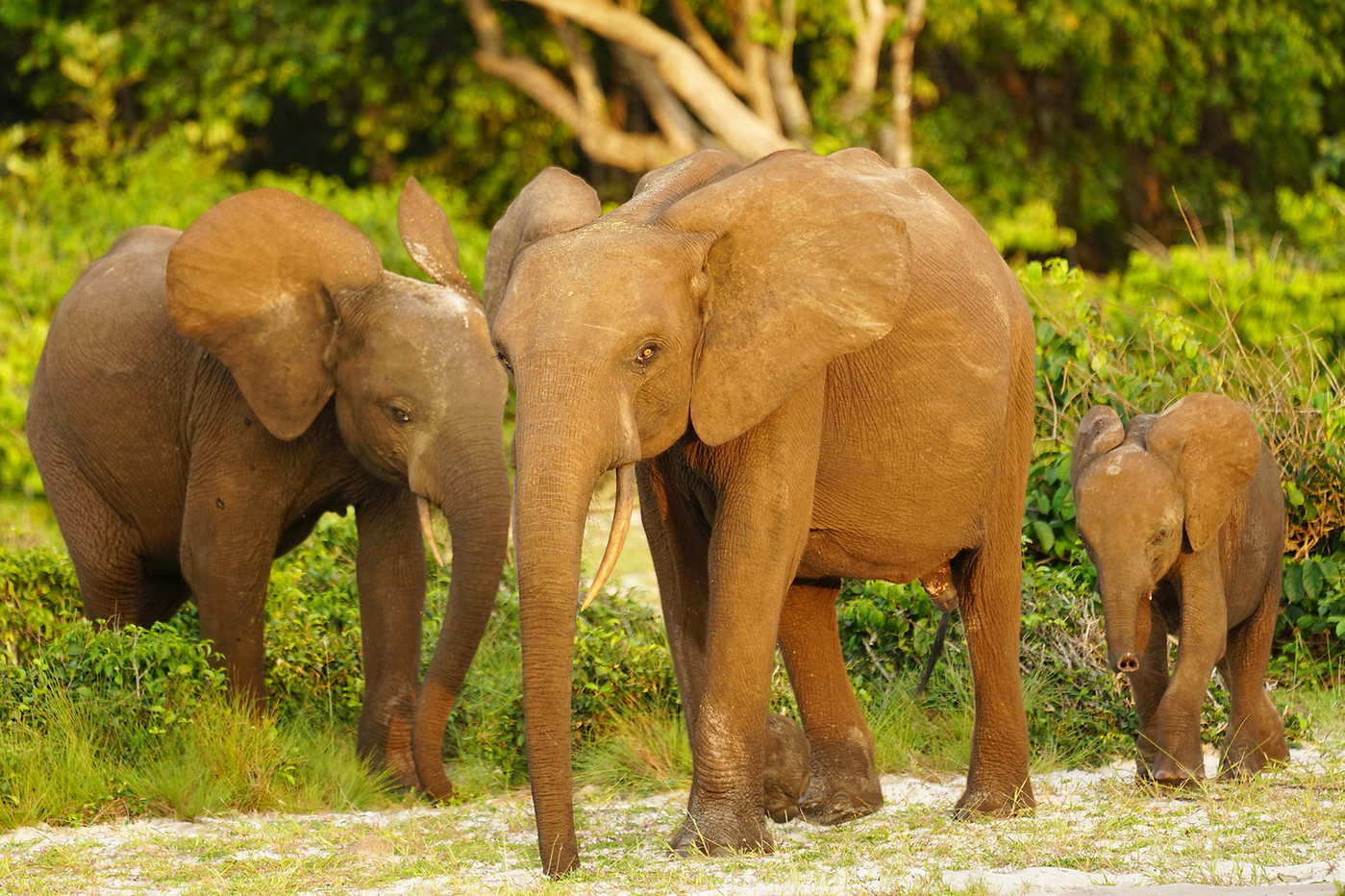 Forest elephants & calf in Luango NP, Gabon