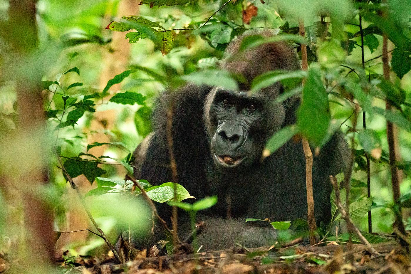 Silverback western lowland gorilla in Luango NP, Gabon