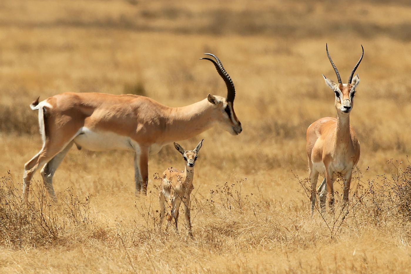 Grant's Gazelle & foal in the Ngorongoro Crater, Tanzania