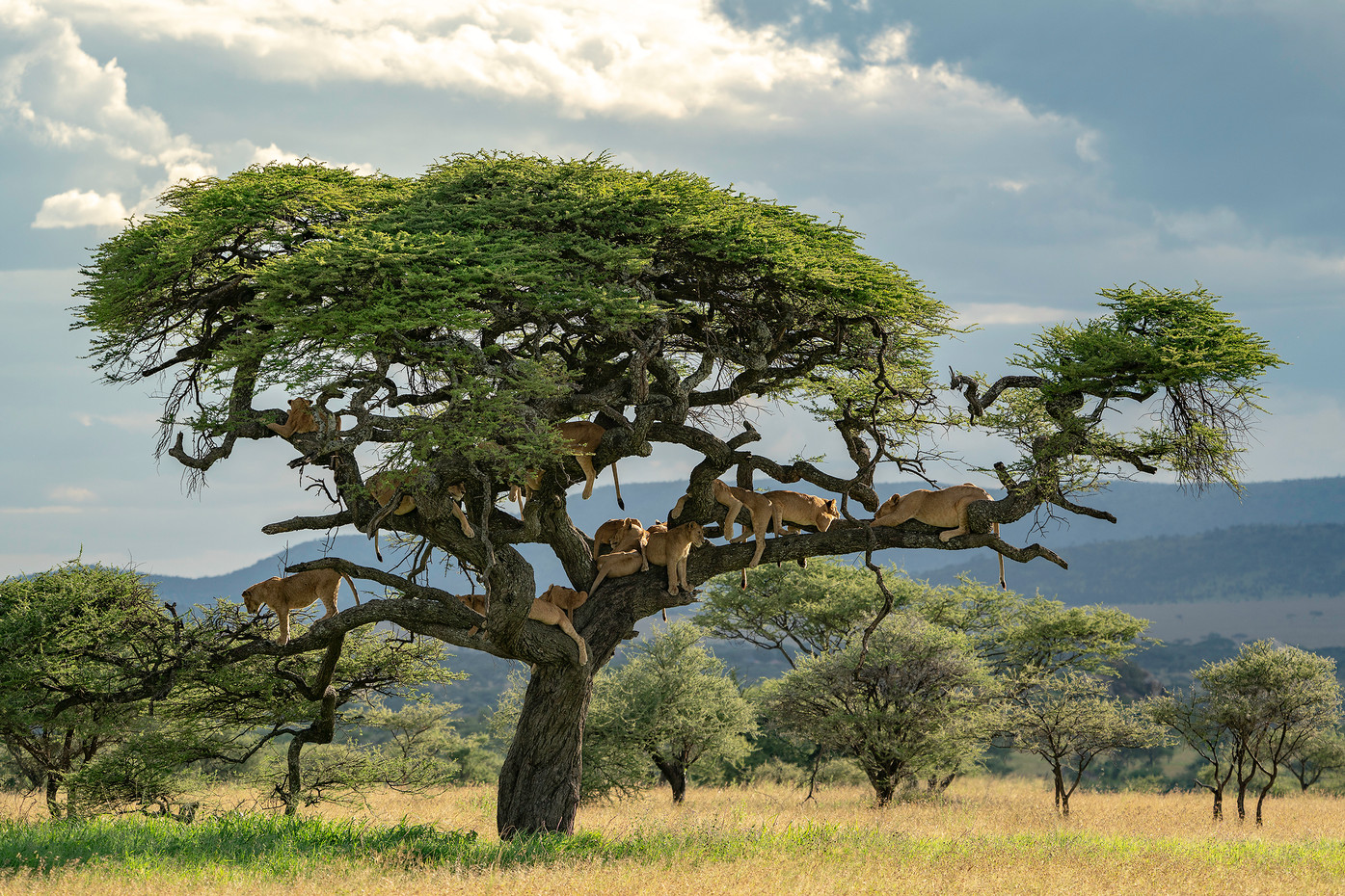 Pride of lions in a tree in the Serengeti NP, Tanzania