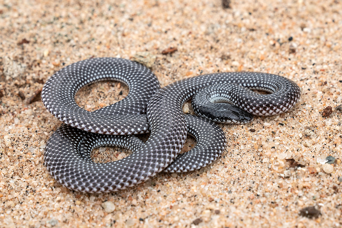 Desert Black-headed Snake in Tarangire NP, Tanzania