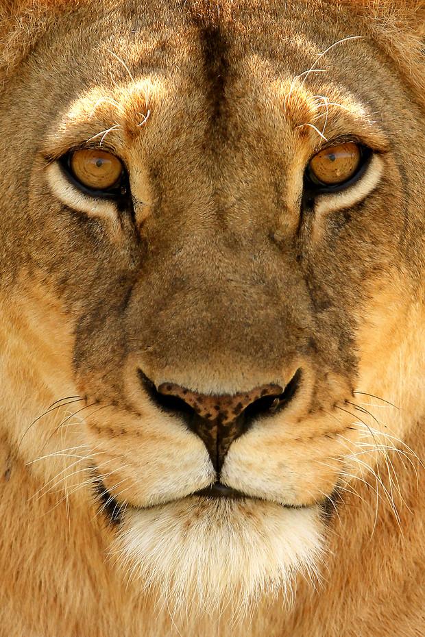 Lioness in the Serengeti NP, Tanzania