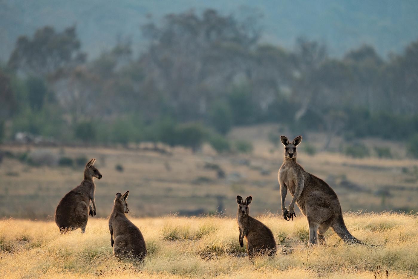 Eastern Grey Kangaroos in NSW, Australia