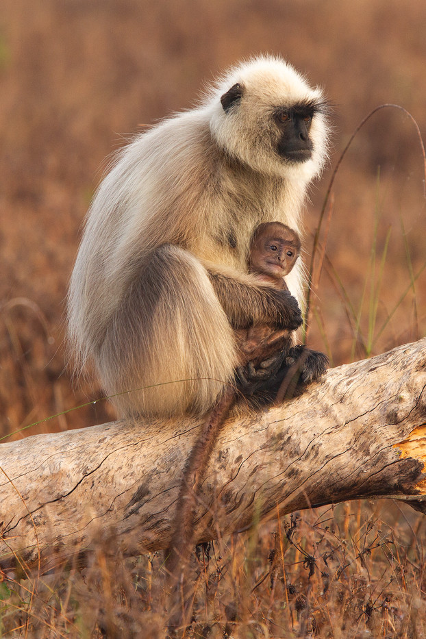 Langur Monkey & baby in Kanha NP, India