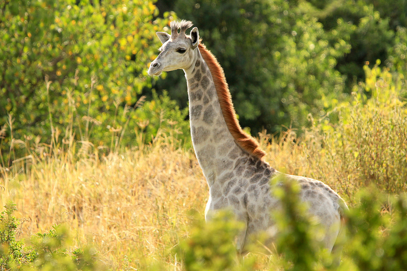 Omo the leucistic Masai Giraffe in Tarangire NP, Tanzania