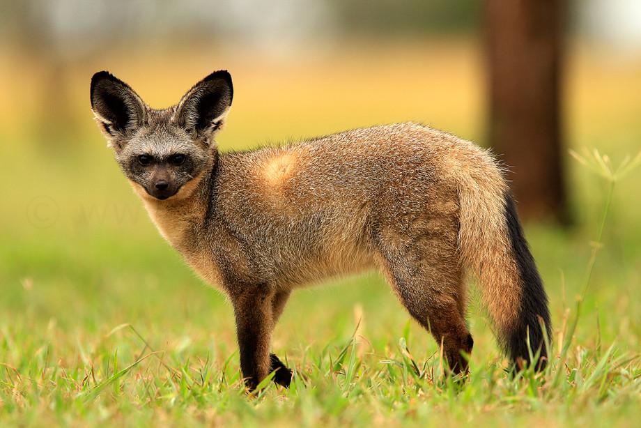 Bat-eared Fox in Tarangire NP, Tanzania